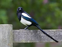 Magpie | Bird Identification Guide | Bird Spot